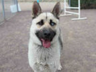 Adopt LUNA a Tan/Yellow/Fawn - with Black German Shepherd Dog / Husky / Mixed
