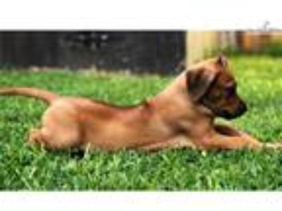 AKC Female Rhodesian Ridgeback - Jewel