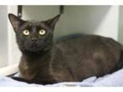 Adopt Mac a All Black Domestic Shorthair / Domestic Shorthair / Mixed cat in