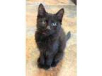Adopt Harrig a All Black Domestic Shorthair / Domestic Shorthair / Mixed cat in