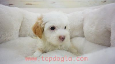Maltipoo Puppy- Male- Reiley ($1.299)