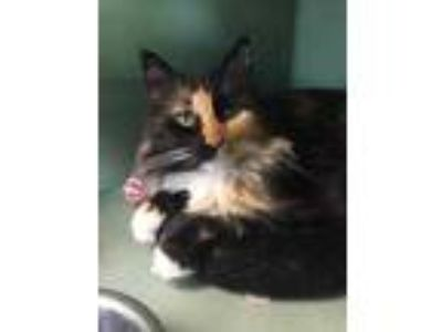 Adopt Betsy a All Black Domestic Longhair / Domestic Shorthair / Mixed cat in