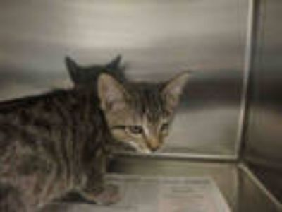 Adopt FRANKLIN a Brown Tabby Domestic Shorthair / Mixed (short coat) cat in Los