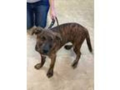 Adopt Leo a Brindle Mastiff / Mixed dog in Chicago, IL (25909083)