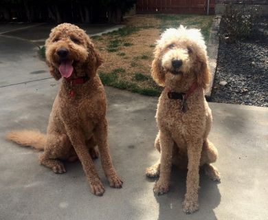 Doodlely Goldendoodle Puppies (f1b+f1b) 75% poodle