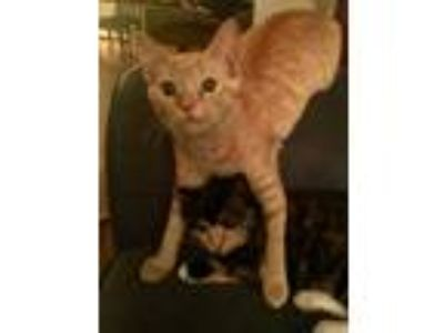 Adopt Brother a Orange or Red Tabby American Shorthair / Mixed cat in