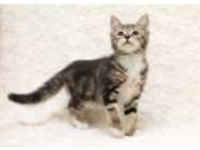 Adopt Flo a White Domestic Shorthair / Domestic Shorthair / Mixed cat in