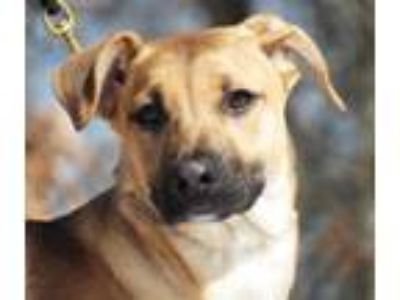 Adopt Angel a Labrador Retriever / Mixed dog in Osage Beach, MO (25886027)
