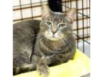 Adopt Gus -- Bonded Buddy With Tito a Domestic Short Hair
