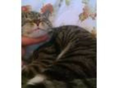 Adopt Daisy a Tiger Striped Domestic Shorthair (short coat) cat in Whitestone