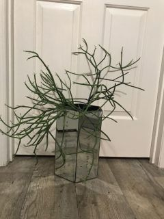 Beautiful pencil cactus in a mirrored container! 14 in container and nearly 26 in height with plant!