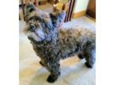 Adopt Mickey a Poodle, Terrier