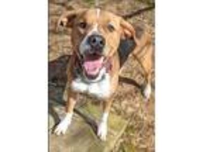 Adopt Silver Charm a Anatolian Shepherd / Boxer / Mixed dog in Charlottesville