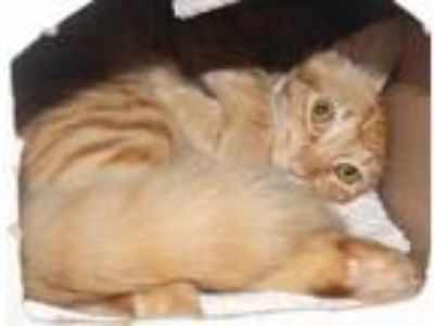 Adopt Emmett a Orange or Red Domestic Mediumhair / Domestic Shorthair / Mixed