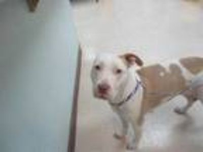 Adopt *IRIS a White - with Tan, Yellow or Fawn American Pit Bull Terrier / Mixed