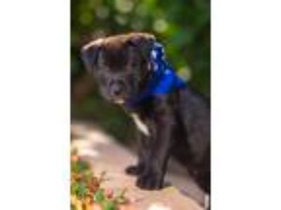 Adopt FLetcher a Black Akita / American Staffordshire Terrier / Mixed dog in