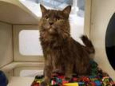 Adopt MISS KITTY a Domestic Long Hair