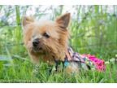 Adopt Carabella a Yorkshire Terrier