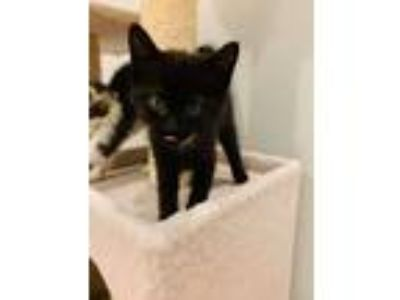 Adopt Ambrosia's Kittens: Macaroon a All Black Domestic Shorthair / Mixed cat in