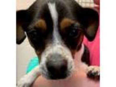 Adopt Buckly a Rat Terrier, Mixed Breed