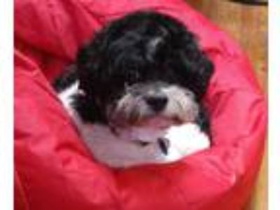 Adopt Odie a Black - with White Shih Tzu / Miniature Poodle / Mixed dog in