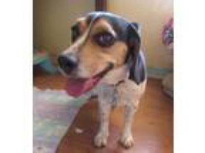 Adopt Nikki a Tricolor (Tan/Brown & Black & White) Beagle / Mixed dog in Apple