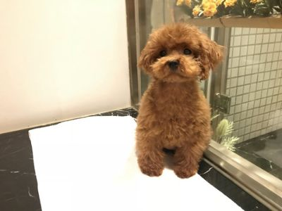 Poodle (Toy) PUPPY FOR SALE ADN-70446 - Brown Toy Poodle