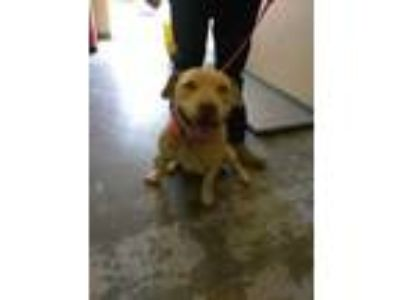 Adopt 38242013 a Tan/Yellow/Fawn Labrador Retriever / Mixed dog in Los Lunas