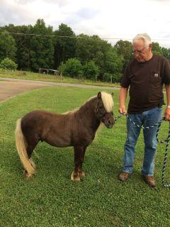 Stud pony