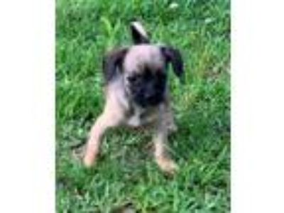 Adopt Somba CG in MS a Shih Tzu, Miniature Pinscher