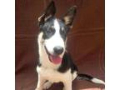 Adopt Amira a Collie / Shepherd (Unknown Type) / Mixed dog in Rancho Santa Fe