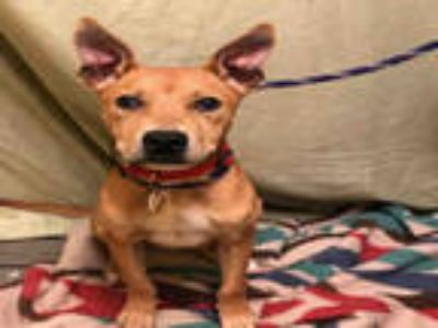 Adopt DEEBO a Brown/Chocolate - with White Black Mouth Cur / Mixed dog in Upper
