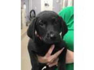 Adopt Baloo a Black Labrador Retriever / Mixed dog in Bloomingdale