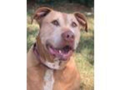 Adopt Bella a Shar-Pei, Labrador Retriever