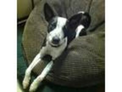 Adopt Smart Jax a Merle Australian Cattle Dog / Border Collie / Mixed dog in Los