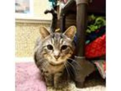 Adopt Peppy a Gray or Blue Domestic Shorthair (short coat) cat in Independence