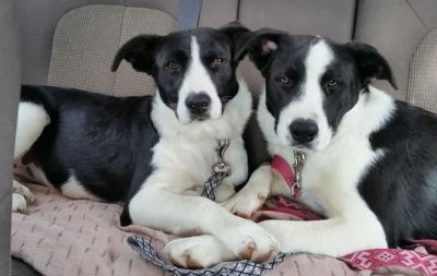 Borador DOG FOR ADOPTION ADN-104632 - Border Collier Lab pair to adopt in Chicago IL
