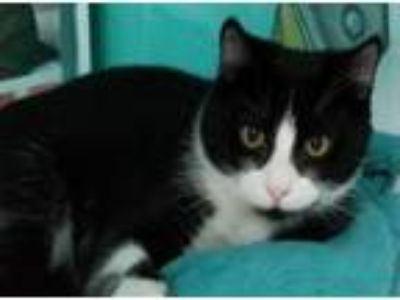 Adopt Gerald a Domestic Short Hair