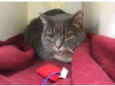 Adopt Chloe a Gray or Blue Domestic Shorthair / Domestic Shorthair / Mixed cat