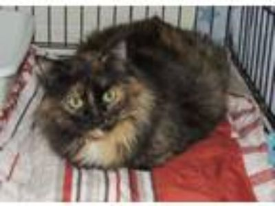 Adopt Holly a Domestic Long Hair