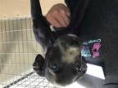 Adopt OREO a Black - with White Labrador Retriever / Mixed dog in Murray