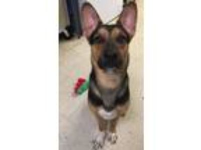 Adopt Moose a German Shepherd Dog / Mixed dog in Chillicothe, OH (25355203)