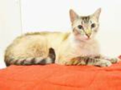 Adopt *DAISHI a Brown or Chocolate (Mostly) Siamese / Mixed (short coat) cat in