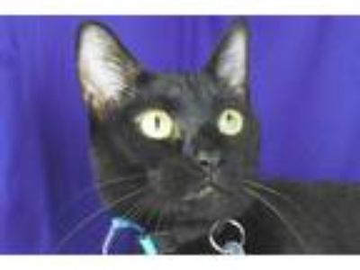 Adopt Fancy a Domestic Shorthair / Mixed cat in Sherwood, OR (25870936)