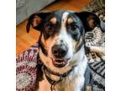 Adopt Guinness a Smooth Collie, Border Collie