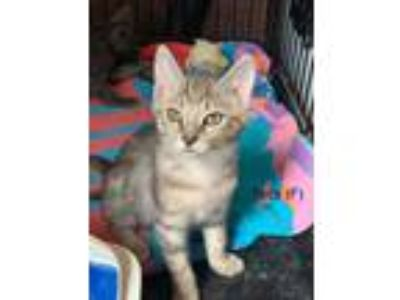 Adopt Tess a American Shorthair / Mixed cat in Whitestone, NY (25871923)