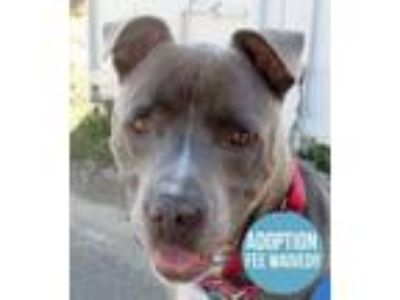 Adopt Porky a Terrier, Pit Bull Terrier