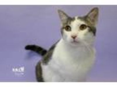 Adopt Komet a Domestic Short Hair