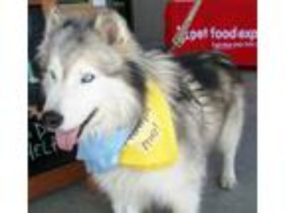 Adopt Dusty a Tricolor (Tan/Brown & Black & White) Alaskan Malamute / Husky /