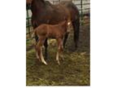 Great colt with Frenchmans Guy breeding